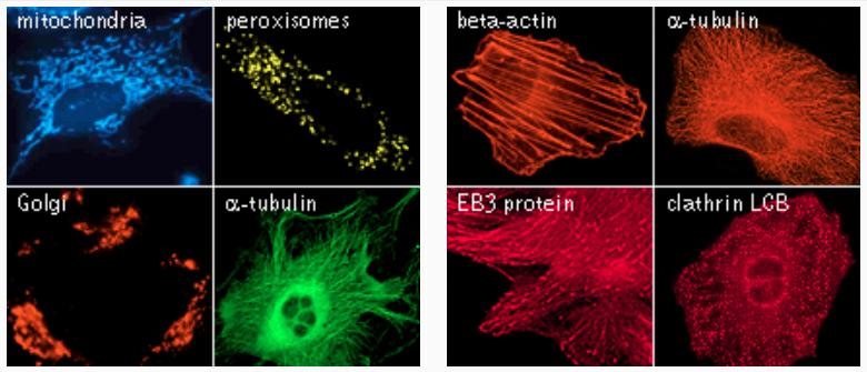 Fluorescentproteinssubcelllarlocalization